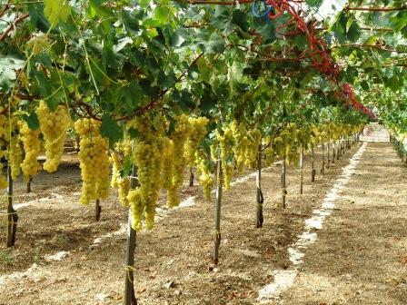 Come coltivare la vite giardinaggio facile - Piante uva da tavola ...
